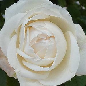 今年の初開花126番目は、エリアーヌジレ@二番花の開花@東庭からの花後剪定
