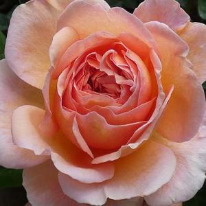 まだ咲いている春バラ、アブラハムダービーなど@西側庭の花後剪定で草取りツメロングを使う