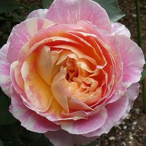 春のバラから二番花へ、クロードモネ、ダブルデライトなど@ピエールドゥロンサールの花後剪定