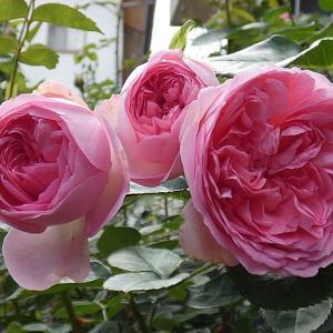 終わりかけの春バラ~モーパッサン、紫燕飛舞など@夢乙女の花後剪定@想い出のローズ泉水