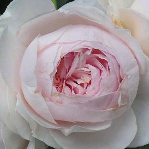 春のバラが終わる頃~クリスティアーナ、ナエマ、ボニカ'82、感謝@バラとクリスマスローズの移植