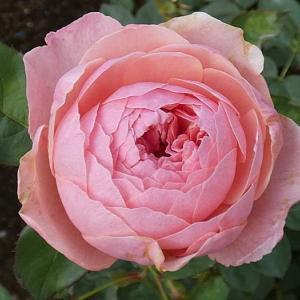 今日咲いてるバラ、ジアレンウィックローズ、クイーンエリザベスなど@庭植えの中耕とお礼肥(追肥)