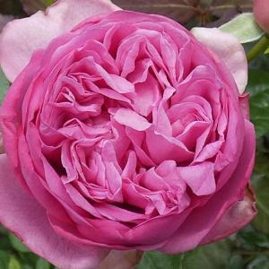 春のバラ、ローズポンパドゥール、クロードモネ@多くなった二番花@今日の作業液肥と小道作り