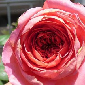 急な陽射しに壊れたバラの花、アマンディーンシャネル、クリーミーエデン、つるミミエデン など