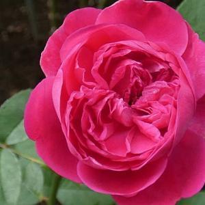 分類不明のバラ「紫燕飛舞」、クリスティアーナ、パヴィヨンドゥプレイニー@梅雨時の花摘み、摘蕾