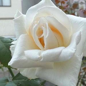 虫も傷みもなく咲いたホワイトクリスマス、シャンテロゼミサト、グラハムトーマス、メアリーローズなど