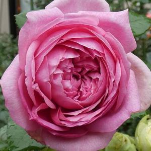 長雨でも咲くバラ、ローズポンパドゥール、紫燕飛舞、ルージュピエール など