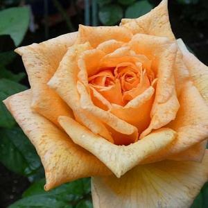 花びらに雨がしみ込んだ「バレンシア」、羽衣、ギイドゥモーパッサン、クイーンエリザベスなど