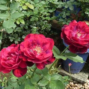 今日咲いてるバラ~フランシスデュブリュイ、みやこ、シャンテロゼミサト など@三番花の蕾
