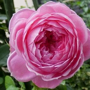 三番花の開花~アランティッチマーシュ、ルージュロワイヤル、ジアレンウィックローズなど7品種