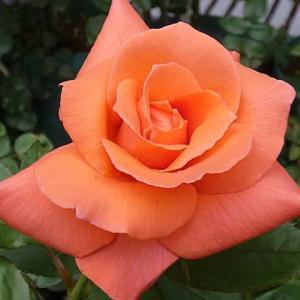 三番花の開花~アヴェマリア、ボレロ@咲き続けているバラ@イングリッシュローズ4品種