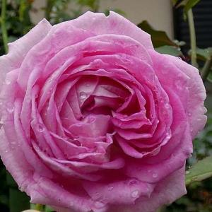 大雨の中咲いたバラ~パヴィヨンドゥプレイニー、マダムイザアックぺレール、ジャルダンドゥフランスなど