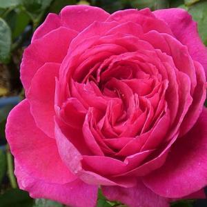 三番花~エルトゥールル、アルシデュックジョゼフ、パディマグレディ@乱れたオリジナルの交配種