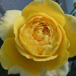 春のバラ初開花1番目、2番目~オールドブラッシュ、トロピカルシャーベット