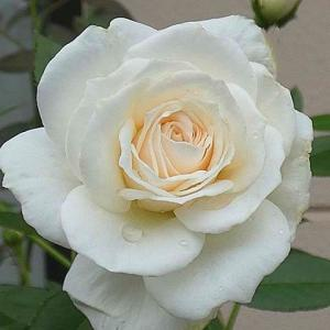まだ続く雨の中咲く三番花~リッチフィールドエンジェル、トロピカルシャーベット、あおい など