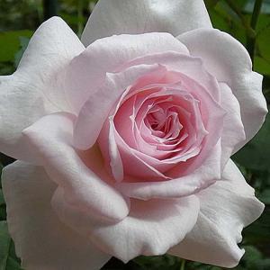 梅雨明け直前のバラの三番花~みさき、ボレロ、オフィーリアなど@交配種の咲き始め