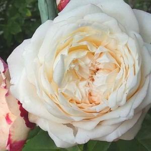 咲き始めと咲き進んだバラ~エリアーヌジレ、ダブルデライト、フレグラントアプリコットなど
