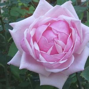 遅さ咲きの三番花~ラフランス、ルイ十四世、オフィーリア、ティファニーなど@交配種「玲奈」の交配