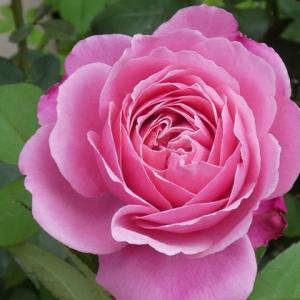 猛暑日に咲き始めるバラ~シャンテロゼミサト、クリーミーエデン、ボレロ、ホワイトクリスマスなど