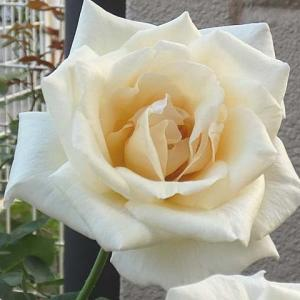 夏の暑さに咲くバラ~ホワイトクリスマス、クリスティアーナ、グラハムトーマスほか