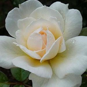 今日咲いてるバラすべて~ボレロ、フレグラントヒル、麟(リン)ほか