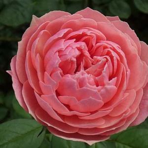 花色が濃くなった、ジアレンウィックローズ、クロードモネ、サントゥールロワイヤル、エルモサなど