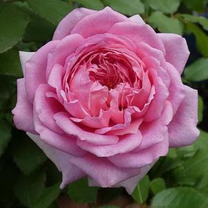 花色明るく、ローズポンパドゥール、クロードモネ、エルモサ@バラ作業草取りヅメで効率アップ