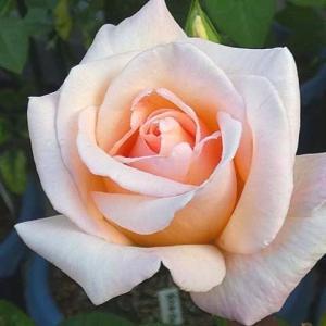 秋めいてきたバラ、オフィーリア、エリアーヌジレ、クロードモネ、スヴェニールドゥラマルメゾン