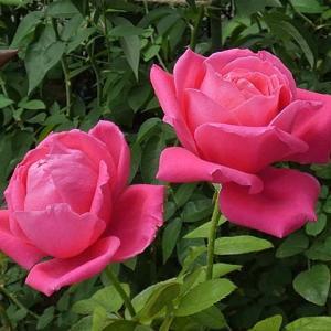 秋の花色、香りも強いバラ~マリアカラス、ダーシーバッセル、夜の調べ、ミサトなど