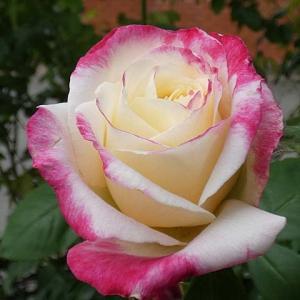 秋が素敵なバラ~ダブルデライト、ステファニードゥモナコ、ルージュピエール、ルイアマードの交配種など