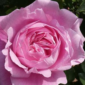 シャンテロゼミサト、スヴェニールドゥラマルメゾン、羽衣など@春のバラ初開花はメアリーローズ