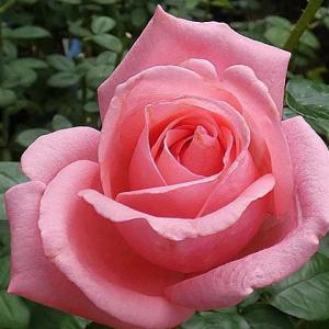 ピンクオレンジ色の秋バラ~芳純、ハーモニー、パディマグレディ、ラローズドゥモリナールほか