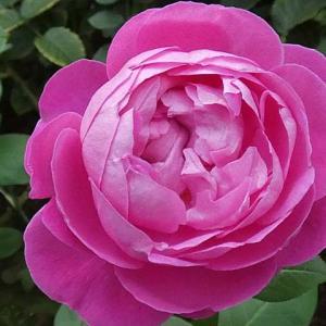 お気に入りのバラ、セントスウィザン、イヴピアジェ、パヴィヨンドゥプレイニー、ギイドゥモーパッサン