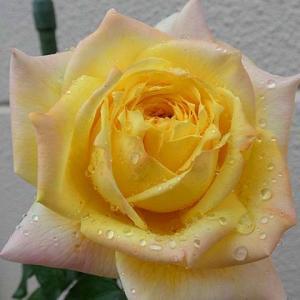 寒さの中咲くトロピカルシャーベット、オールドブラッシュ、天使の香、ストロベリーマカロンなど
