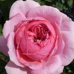 秋バラ濃くプリンセスアレキサンドラオブケント、クロードモネ、みさき、ストロベリーマカロンなど