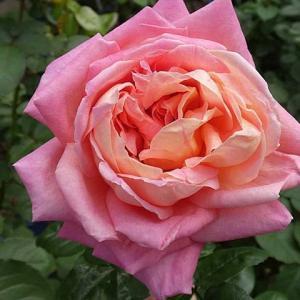 久しぶりのシカゴピース、つるミミエデン@今日咲いてるバラ、ケント姫、アルシデュックジョゼフなど