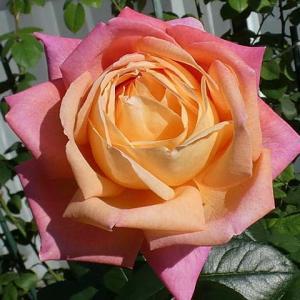 色濃く咲いたバラ~シカゴピース、夢紫、エルトゥールル、グラウンブルー、ルイアマード、みやこ