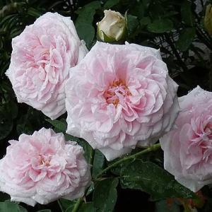 雨に弱い性格が出た2020年のバラ「スヴェニールドゥラマルメゾン」@鉢バラの土替え7鉢