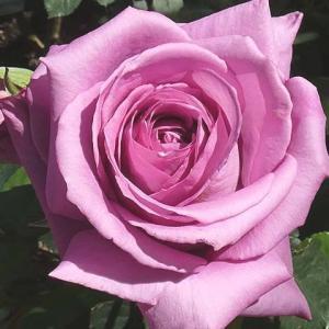 オリジナルのバラ「奈緒」@品種別のバラまとめ作業