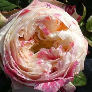 クリーム地に赤の斑入り「パーティ・ラナンキュラ」@鉢バラ・庭植えバラの冬剪定