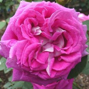 ヴァイオレットピンクの「パヴィヨン・ドゥ・プレイニー」@花壇前面バラの冬剪定