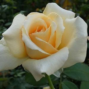 陽当たり前、朝の爽やかなバラの開花~ジャストジョーイ、ソフィーズパーペチュアル、ダブルデライトほか