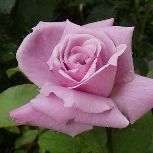 花色が変わった、シャルル・ドゥ・ゴール、クロード・モネ@咲き続けるソフィーズパーペチュアル