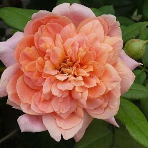 今日のバラ庭~アマンディーンシャネル、エルトゥールル、クラウディア、ソフィーズパーペチュアル