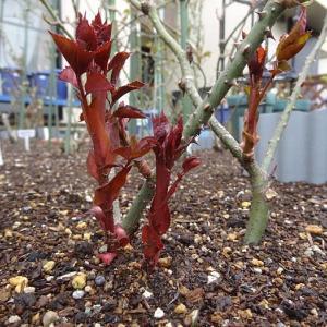 春のバラ7番目は、赤より黒が濃い「ルイ十四世」