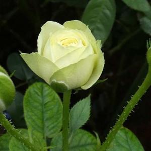 今日のバラ、クリーミーエデン、あおい、ブラッシュノワゼット、ペネロペなど