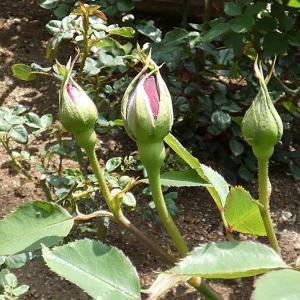 春のバラ8番目は、濃黒紅色の美しい「フランシス・デュブリュイ」@夏剪定の堆肥入れ開始
