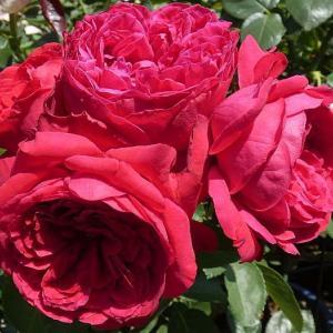 今日咲いてるバラ、ルージュピエール、あおい、シャネル、グラウンブルーなど