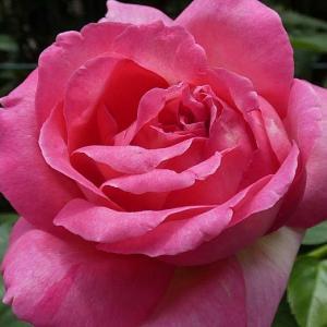 今日のバラ、シカゴピース、ルージュピエール、フレグラントアプリコットなど