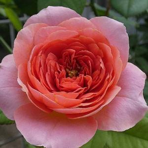 今日のバラ、アマンディーンシャネル、スヴェニールドゥラマルメゾン、ダブルデライトなど